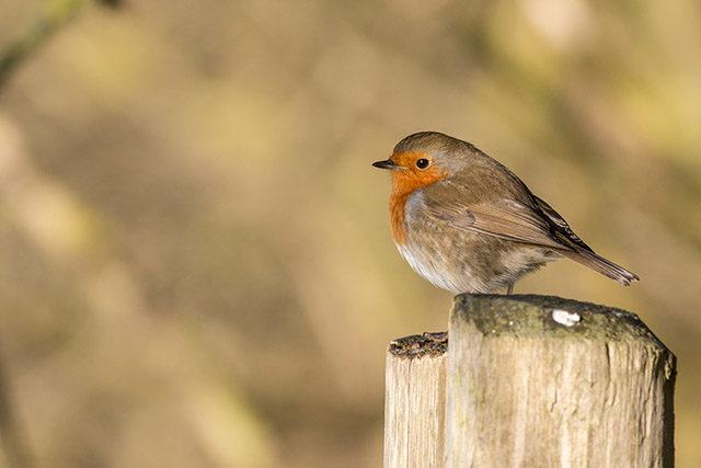 European Robin on fence post