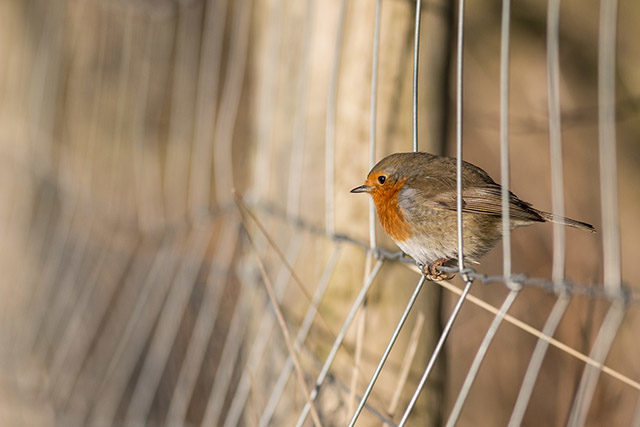 Robin hopping through a wire fence