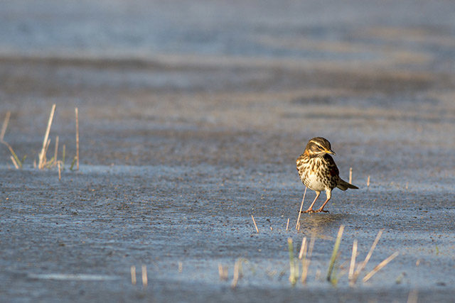 Redwing hunting the ice