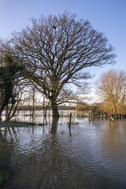 Oak tree stood in river ouse flood waters