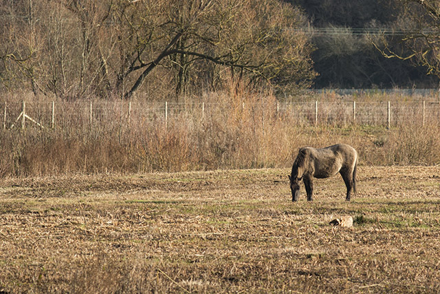 One of the Konik ponies blending in with the browns of winter