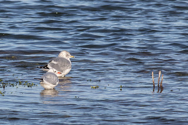 Common and Black-headed Gull together on cold blue water.