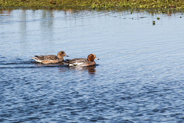 A pair of Wigeon swim together.