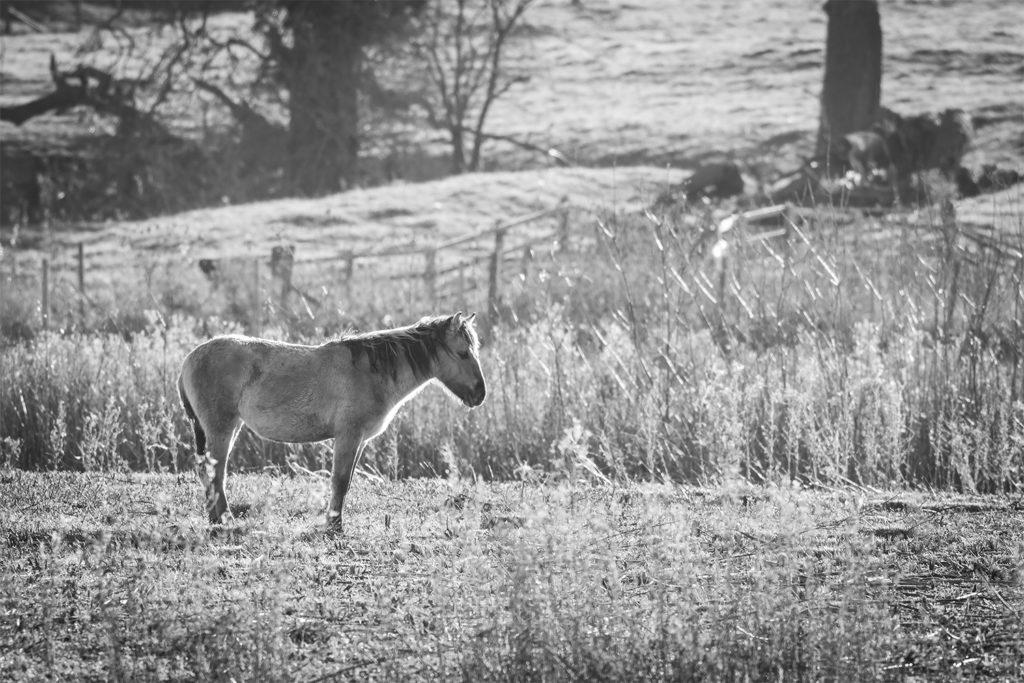 Outdoors Wellness With Ashley Beolens Depression (Image: Black & White image of lone Konik Pony)