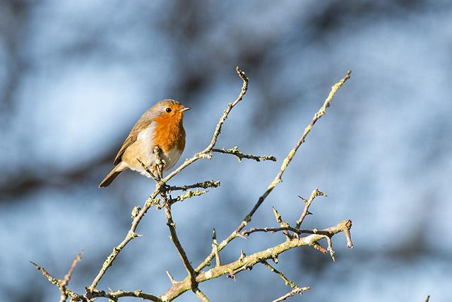 Same Robin, different branch