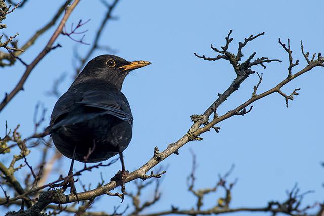 Blackbird with muddy bill