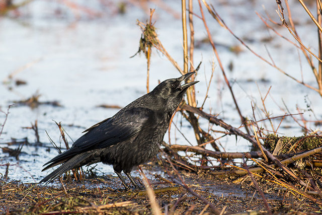 """A Carrion Crow mid """"Caw"""""""