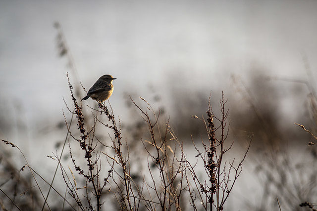 A Backlit female Stonechat at the Floodplain Forest Nature Reserve