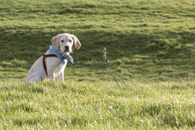 Meet Colin the Dog - Labrador Retriever puppy sat in grassy field