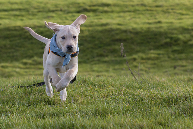 Colin running - Labrador puppy running