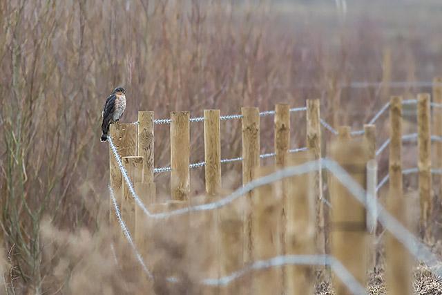 Sparrowhawk on Fence