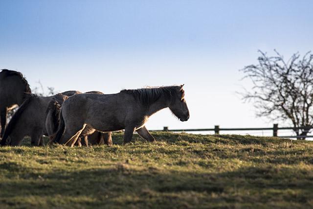 Konik Pony in evening light