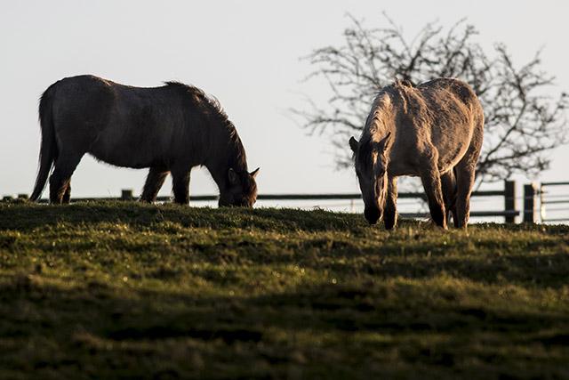 Two Konik Ponies, lit by golden sun
