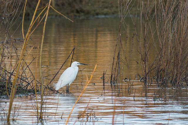 Little Egret in the glowing light of a setting sun