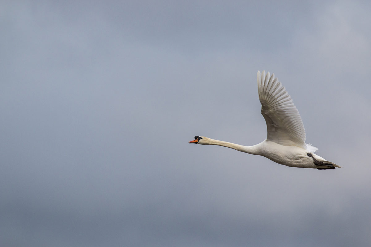 Mute Swan in flight (Cob - you can tell by the size of the bump on its beak)