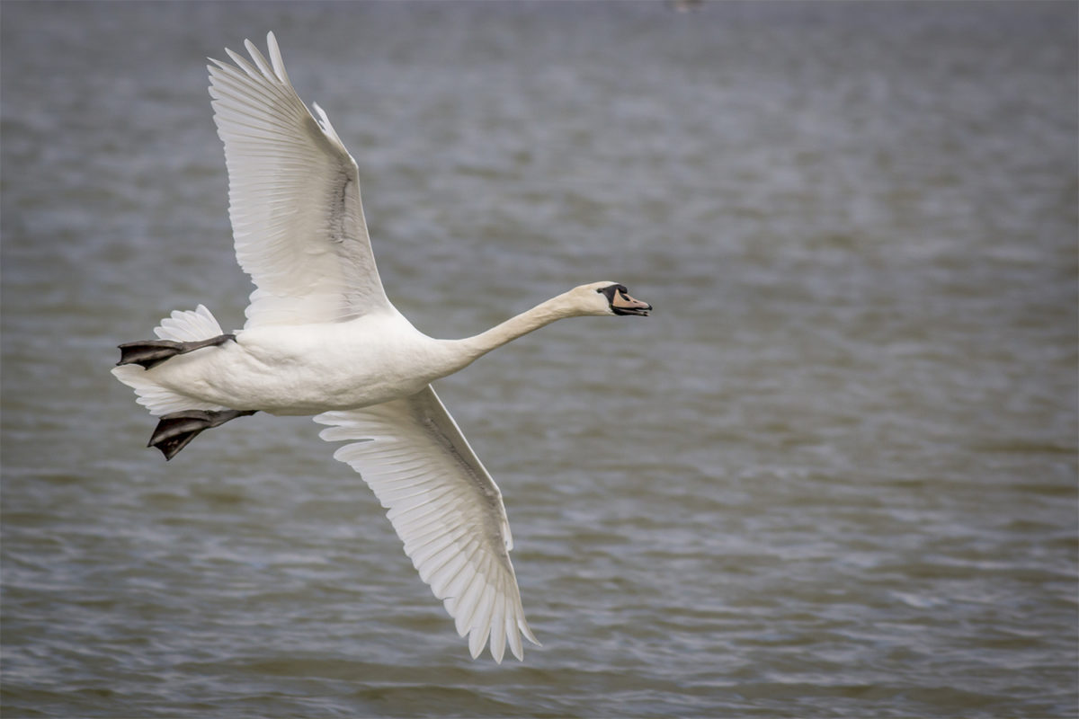 Young Mute Swan in flight (This one was being chased off by a larger adult)