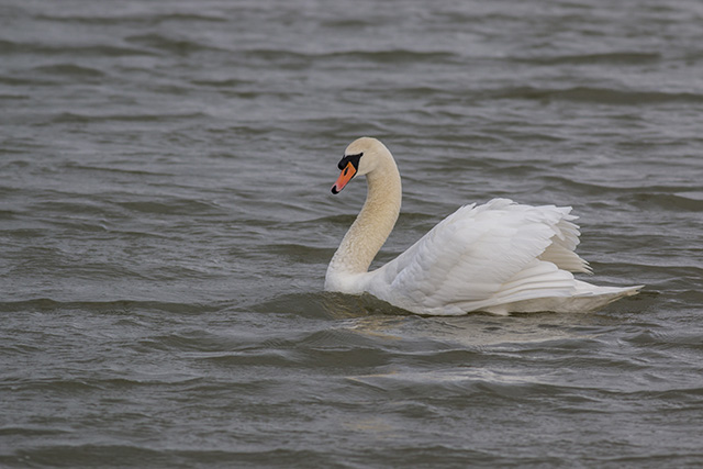 Same swan as above