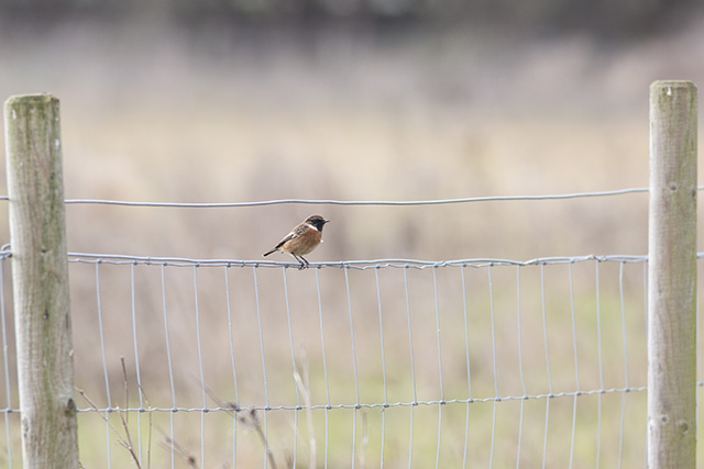Male Stonechat on fence