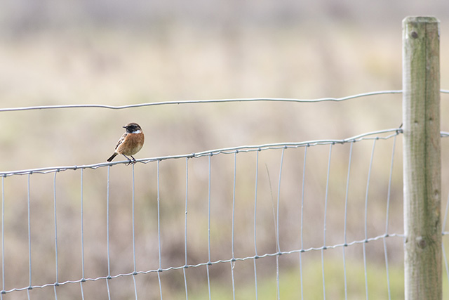 Another of the male Stonechat, you can see why some people call them the vicar bird with their white collar