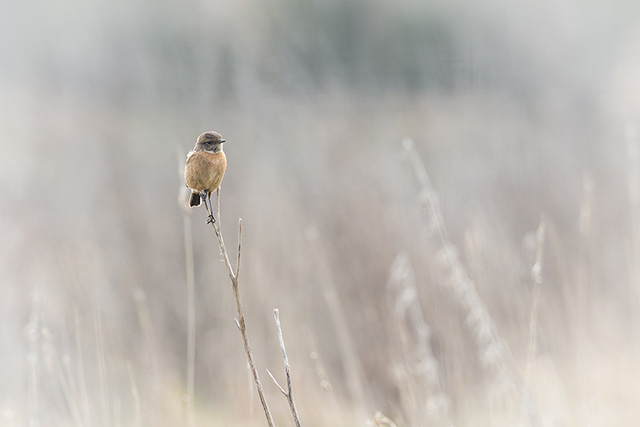 My favourite photo of the day, and one I think will end up on the wall. The female Stonechat really popping from the pale background