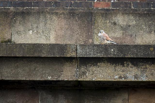 Kestrel sat on Viaduct (heavy crop)