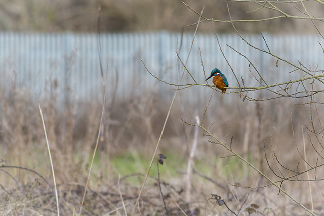 Industrial Kingfisher, I love how the fence gives this a really urban feel