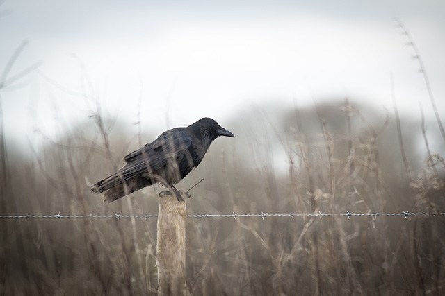 Omen of doom! A dark crow in dull surroundings