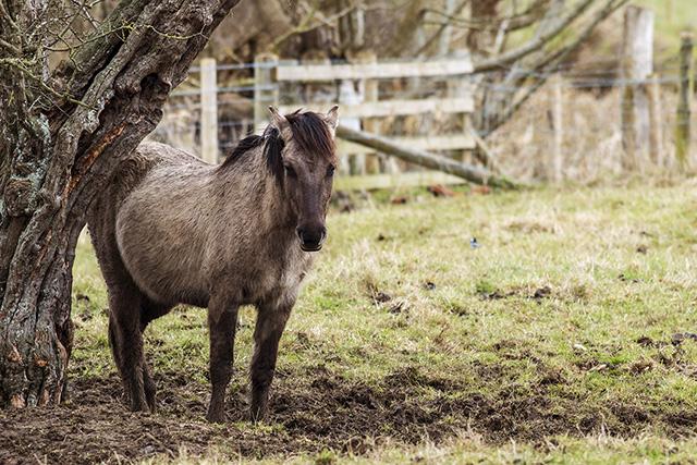Konik Pony stood under an old tree