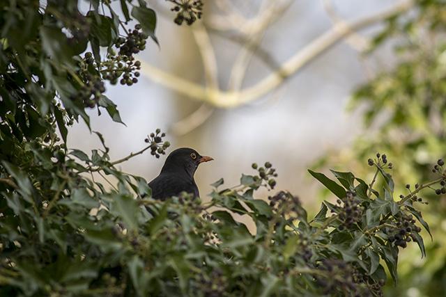 Naturally framed Blackbird