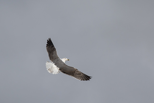 A Victorious Lesser Black-backed Gull.