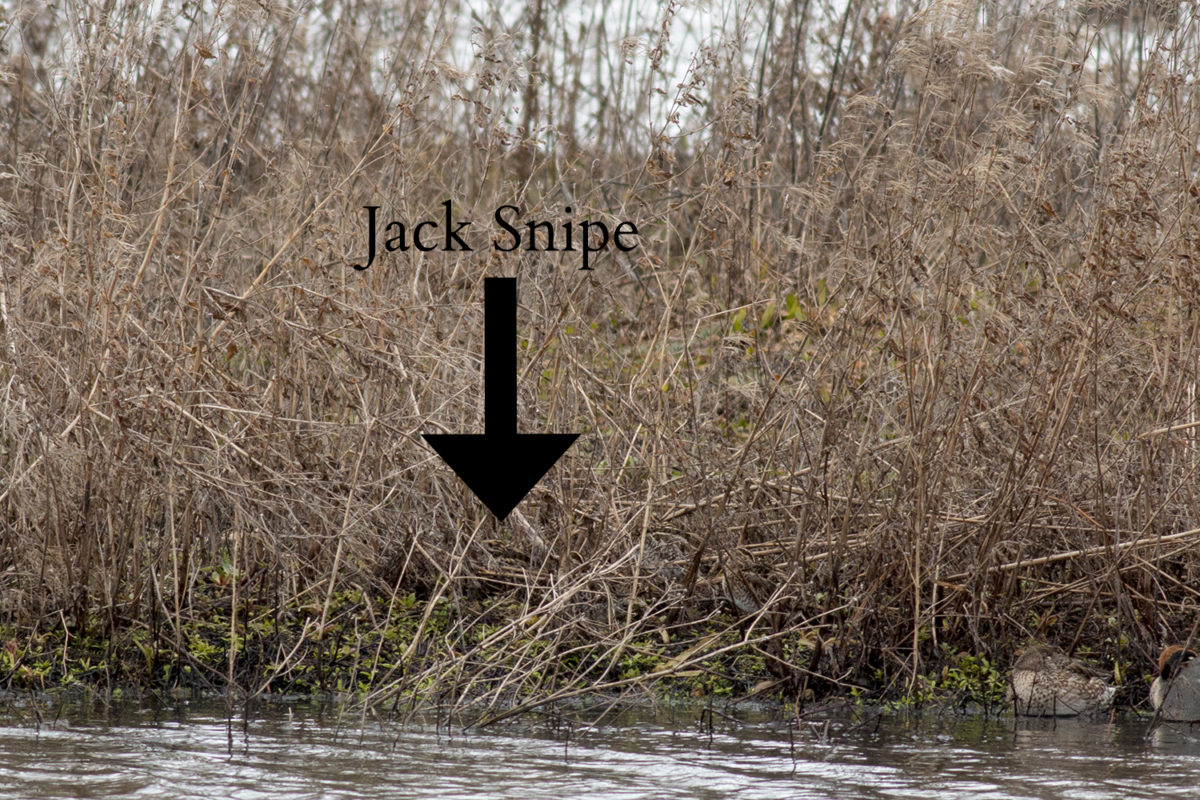 VERY well hidden Jack Snipe, directly below the arrow