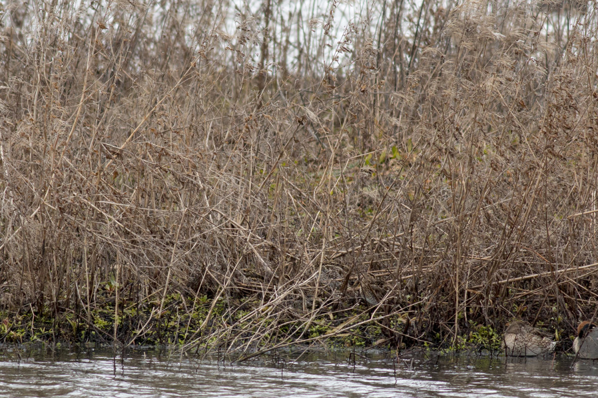Jack Snipe photo, there are three common snipe and 2 teal also in the photo