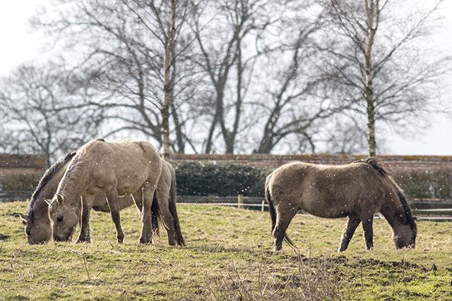 Konik Ponies in the Snow