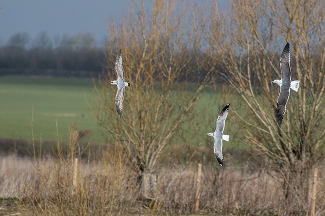 The Chase is on - Lesser Black Backed Gull, chasing Common Gulls