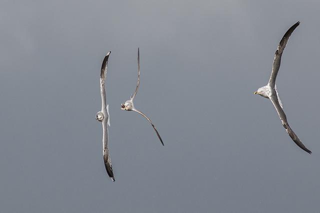Final straight - Lesser black-backed gull closing in on Common Gulls