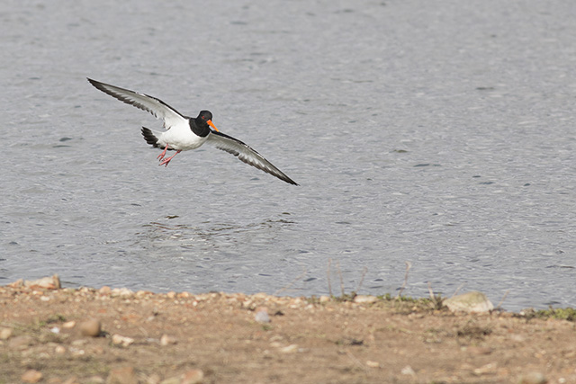Oystercatcher dropping in