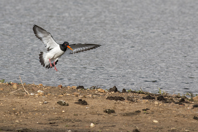 Oystercatcher coming in to land