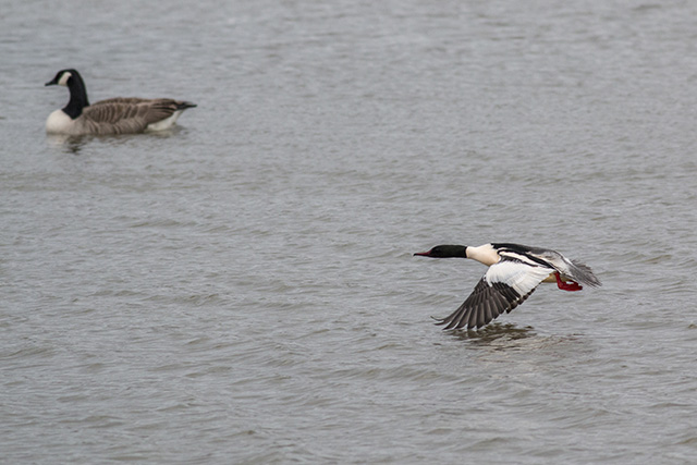 Male Goosander in flight - Also Canada Goose