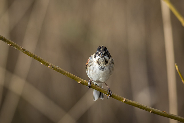 Face on Male Reed Bunting