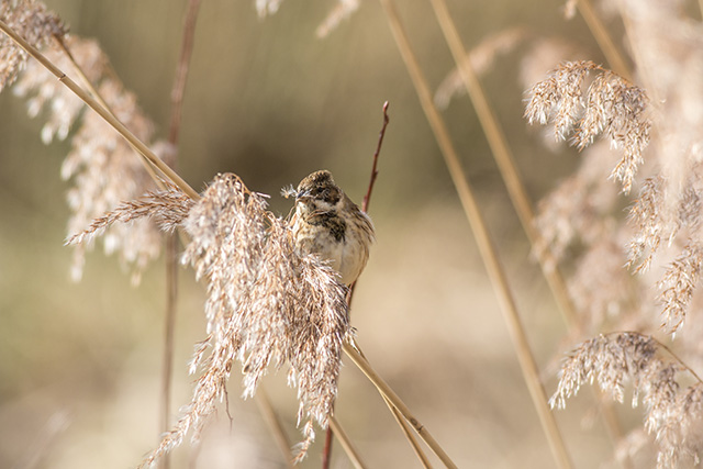 immature male Reed Bunting