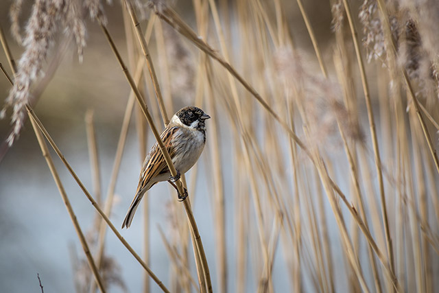 Male Reed Bunting in Reeds