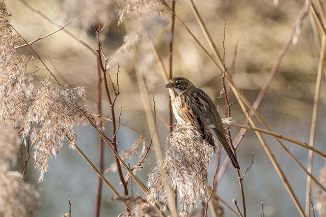 Female or Young male Reed Bunting