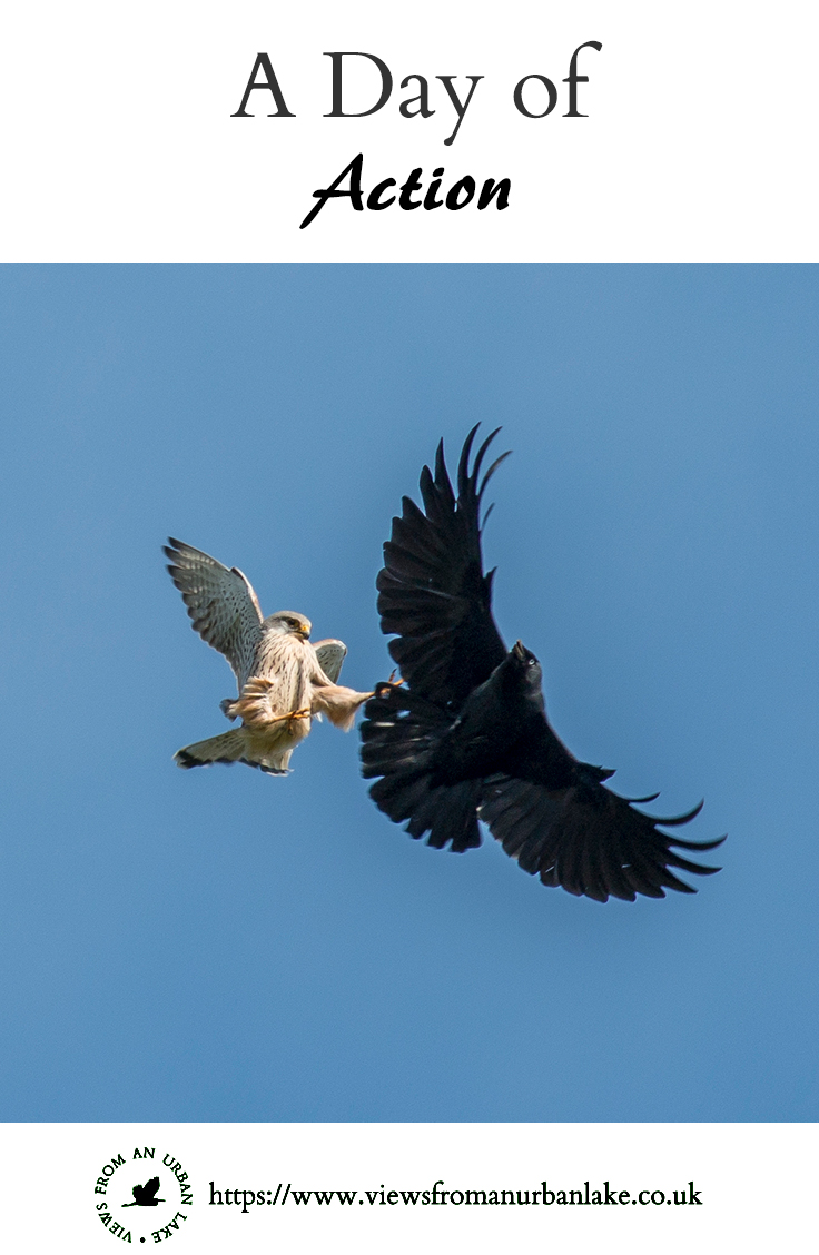 A Day of Action - pin image A Kestrel crashes into a Jackdaw in an on going aerial battle.