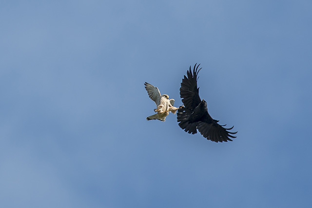 Claws Out - Kestrel dropping in onto a Jackdaw