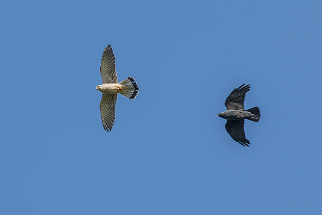 A Day of Action - Jackdaw chasing Kestrel