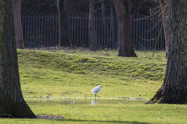 Little Egret in the flooded car-park at Haversham.