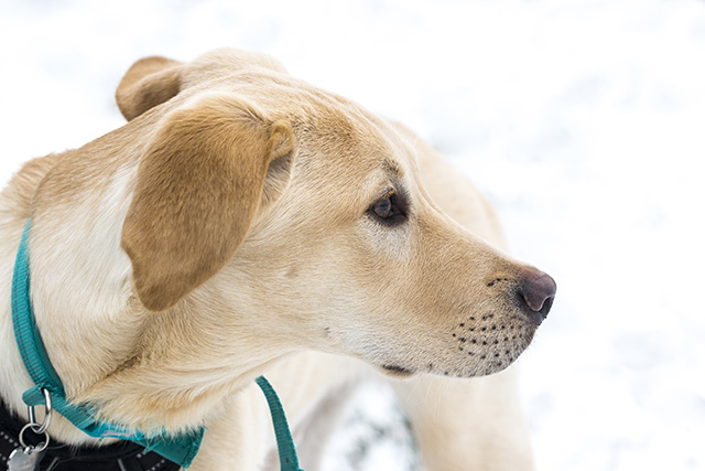 Surrounded by Snow - Yellow Labrador (Colin the Dog)