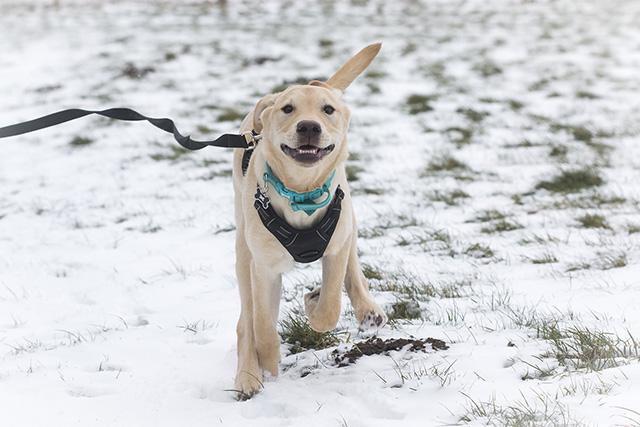 Snowy Dog Walk - Labrador running in snow