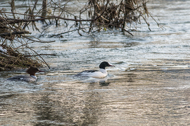 Male & female Goosander in golden light