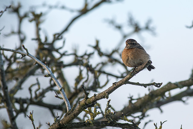 Golden light on a Female Stonechat